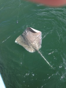 my 80 lb stingray