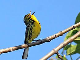 Bird singing like a bird likes to sing