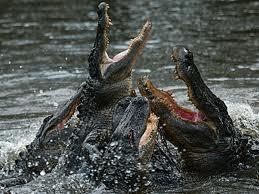 pool full of alligators